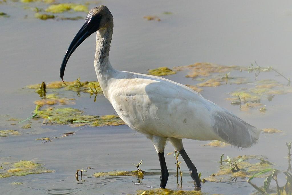 giant-ibis