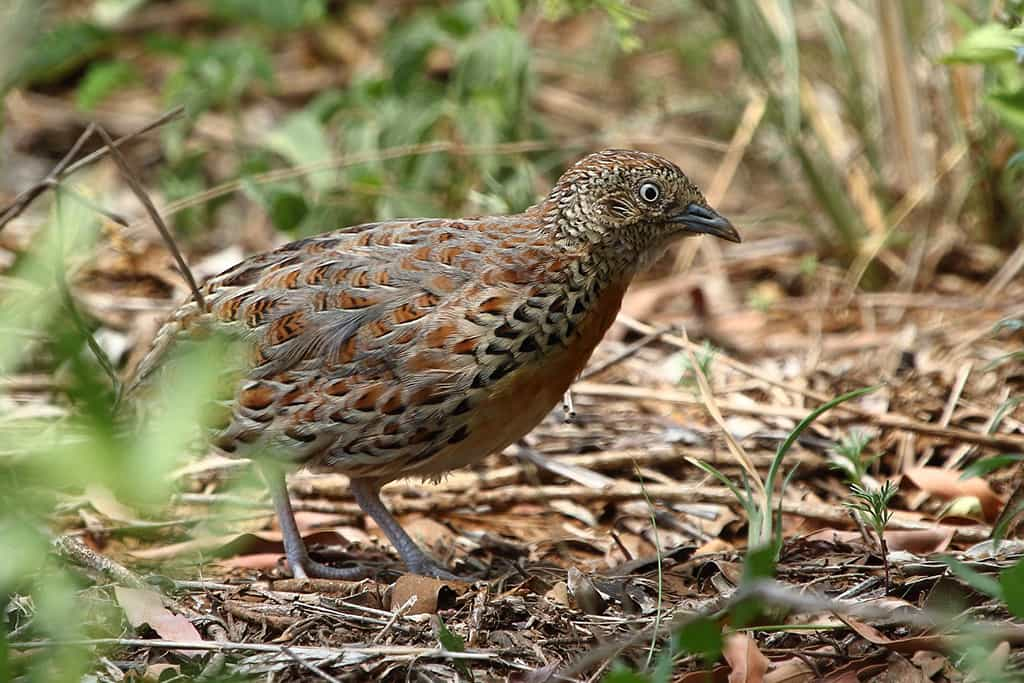 Kurrichane Buttonquail